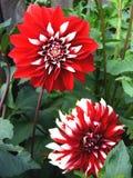 Цветет красное цветене георгина Стоковое фото RF