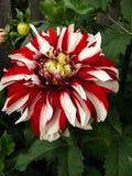 Цветет красное цветене георгина Стоковые Фотографии RF