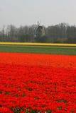 цветет красный желтый цвет ветрянки Стоковое Фото