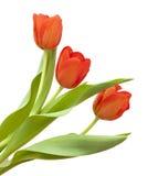 цветет красный желтый цвет тюльпана Стоковые Изображения