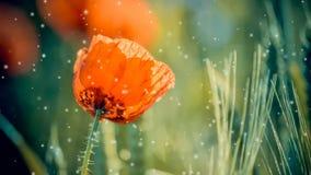 Цветет красный конец-вверх мака в зеленых растениях весной видеоматериал