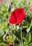 цветет красный цвет мака Стоковое Изображение RF