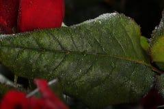 цветет красный цвет поднял Стоковое фото RF