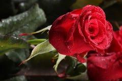 цветет красный цвет поднял Стоковое Фото