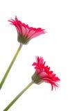 цветет красный цвет 2 gerber Стоковые Фотографии RF