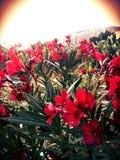 цветет красный цвет Стоковое Изображение