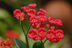 цветет красный цвет Стоковая Фотография