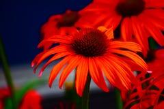 цветет красный цвет Стоковые Изображения