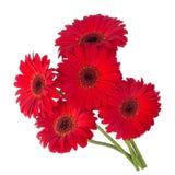 цветет красный цвет gerbera Стоковое Изображение