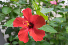 цветет красный цвет hibiscus Стоковая Фотография
