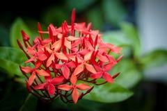 цветет красный цвет ixora Стоковая Фотография RF