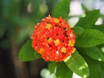 цветет красный цвет ixora Стоковое Изображение