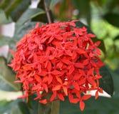цветет красный цвет ixora Стоковое фото RF