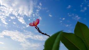 цветет красный цвет plumeria Стоковые Фотографии RF