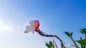 цветет красный цвет plumeria Стоковые Фото