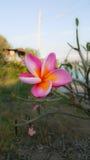 цветет красный цвет plumeria Стоковая Фотография RF