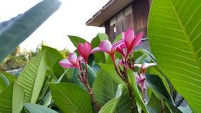 цветет красный цвет plumeria Стоковое Изображение RF