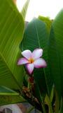 цветет красный цвет plumeria Стоковое фото RF