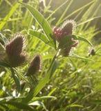 Цветет клевер флористическое предпосылки красивейшее Фиолетовые цветки зацветают в расчистке в солнечности на заходе солнца на ле Стоковое Изображение