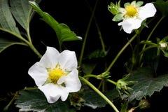 Цветет клубники на черноте Стоковая Фотография RF