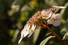 цветет лето hortensia Стоковое Изображение RF