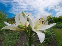 цветет лилия Стоковые Изображения RF