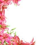 цветет лилия Стоковое Фото