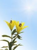 цветет лилия 2 Стоковое фото RF