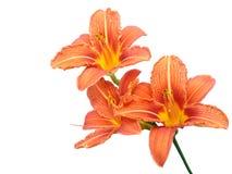 цветет лилия Стоковое фото RF