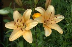 цветет лилия Стоковое Изображение