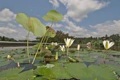 цветет лотос Стоковое Изображение