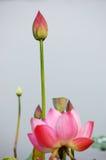 цветет лотос Стоковые Изображения