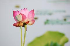 цветет лотос Стоковое фото RF