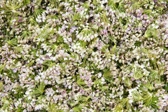цветет лук-порей стоковые фотографии rf