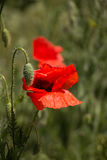 цветет маки одичалые Стоковые Фотографии RF