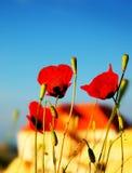 цветет мак лужка стоковые фотографии rf