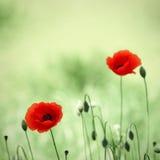 цветет мак Стоковое Изображение RF