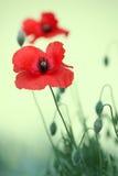 цветет мак Стоковые Фото