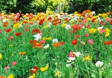 цветет мак Стоковые Изображения