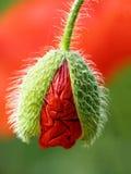 цветет мак стоковое изображение