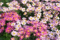 Цветет маргаритка Предпосылка природы цвета Стоковые Фото