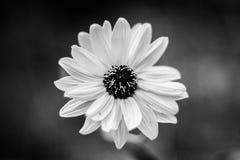 цветет минимализм черно-белый Стоковые Изображения RF