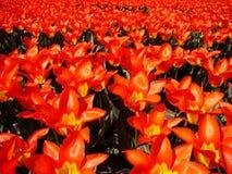 цветет мощный красный цвет стоковые фото