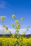 цветет мустард Стоковые Фотографии RF