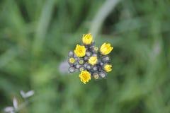 цветет мустард одичалый Стоковое Изображение