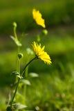цветет одичалый желтый цвет Стоковые Изображения