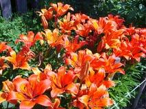 Цветет оранжевые лилии в цветени Стоковые Изображения RF