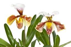 Цветет орхидеи на белой предпосылке Стоковое Фото