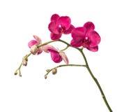 цветет орхидея Стоковое Фото