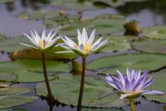 цветет лотос 3 Стоковые Изображения RF